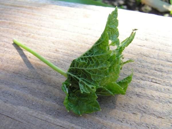 Начинают скручиваться листья на смородине, что делать?