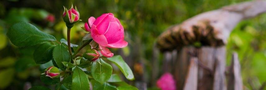 Когда и чем лучше укрыть розы на зиму: сроки, правила и лучшие материалы для укрытия