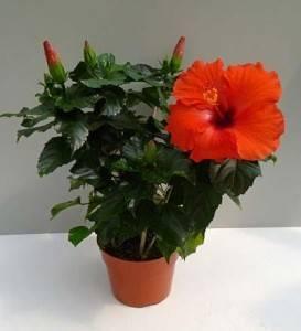 Китайская роза (гибискус): уход в домашних условиях