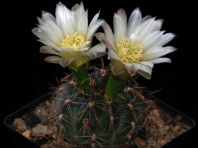 Гимнокалициум уход за комнатным растением в домашних условиях, фото, размножение кактуса