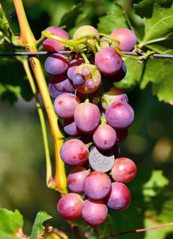 Виноград кардинал: описание сорта, фото, отзывы, видео