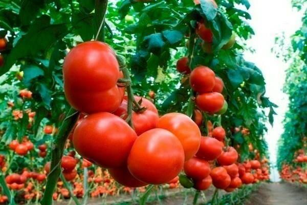 Томат махитос f1: описание сорта, выращивание, отзывы о сорте