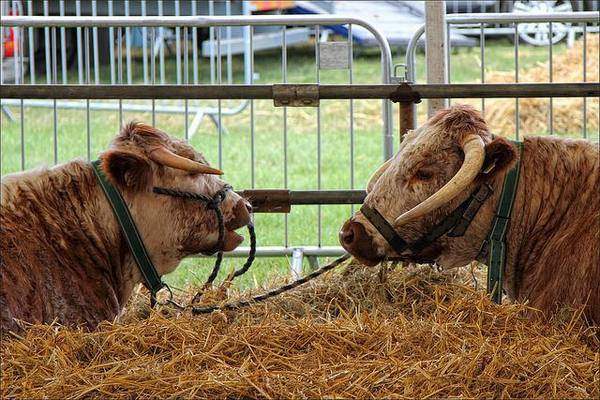 Спаривание коров: возраст и как проходит осеменение, проблемы с покрытием