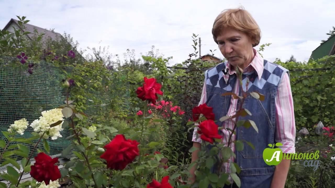 Как укрыть розы на зиму в сибири