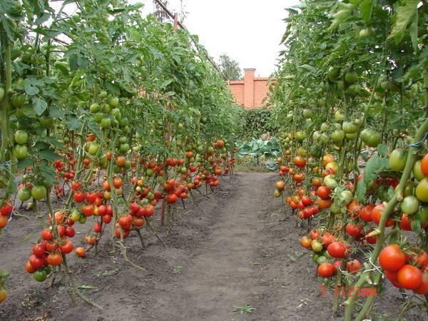 Детерминантные томаты: что это такое, лучшие низкорослые сорта для открытого грунта и теплицы