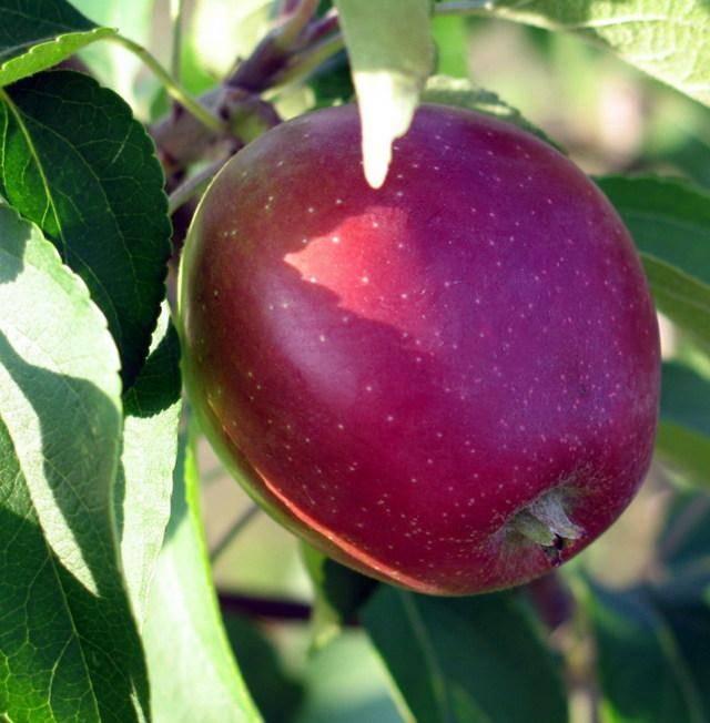 Сорт яблони коваленковское – сладкий гость из белоруссии