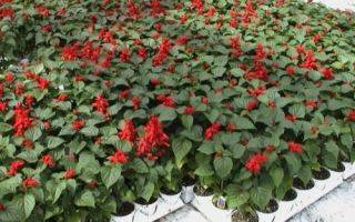 Сальвия: выращивание из семян рассадой, посадка и уход в саду