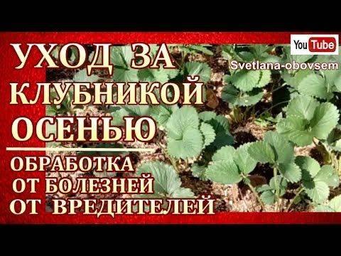 Чем обработать клубнику осенью после обрезки: средства от болезней и вредителей