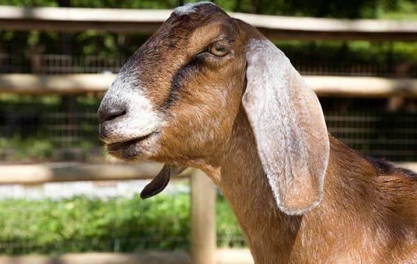 Высокопродуктивные нубийские козы! содержание и уход.
