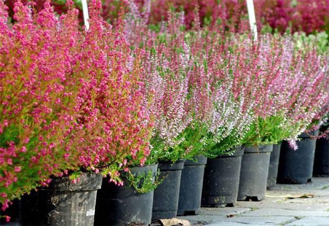 Вереск: посадка и уход, выращивание из семян в открытом грунте, фото