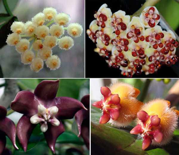 Хойя (hoya). уход, размножение, формирование, цветение.