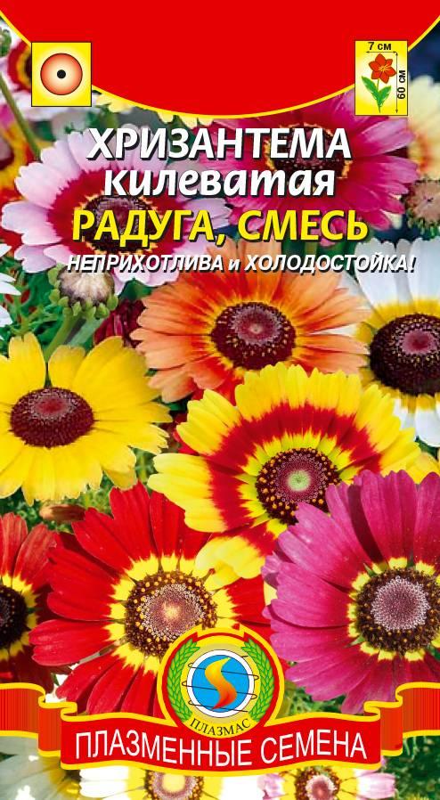 Правила выращивания хризантем из семян