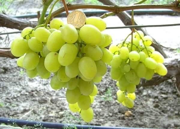 Виноград мускат блау: описание сорта, фото