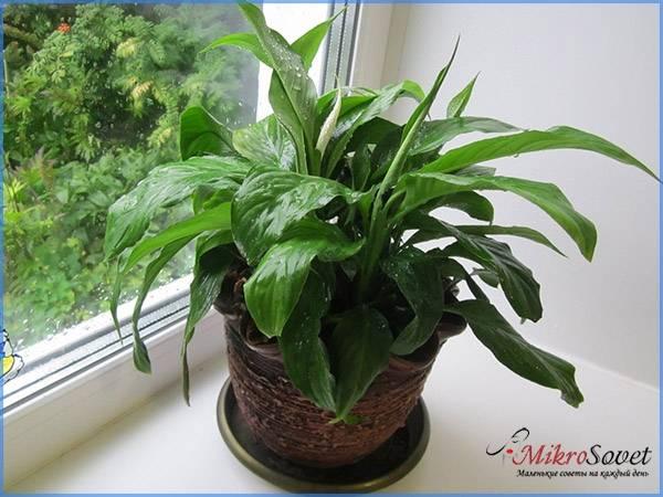 Чем подкормить спатифиллум в домашних условиях, чтобы цветок «женское счастье» обильно цвел, как применять готовые удобрения, борную кислоту, золу и иные средства?