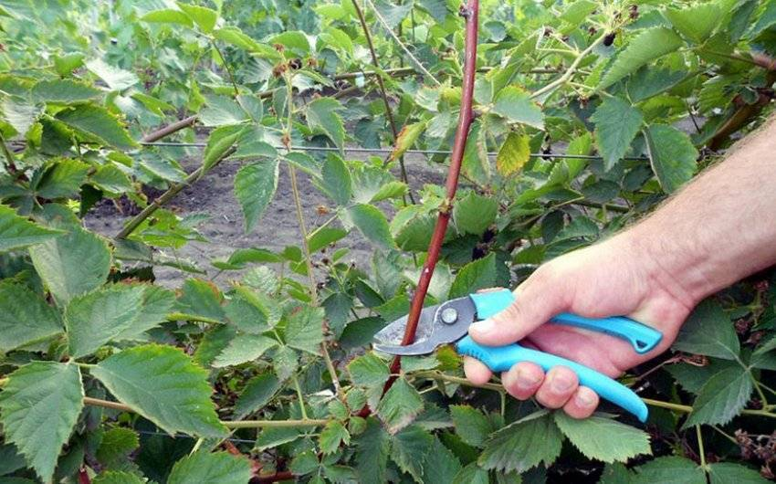 Когда и как обрезать малину в течение сезона: подробное руководство для огородников
