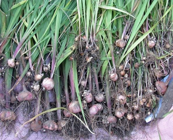 Когда выкапывать гладиолусы осенью и как хранить их зимой?
