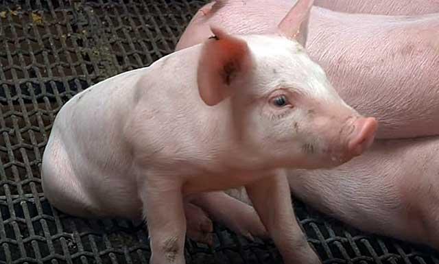 Как ухаживать за свиньями 2 месяца: содержание в домашних условиях и загоны