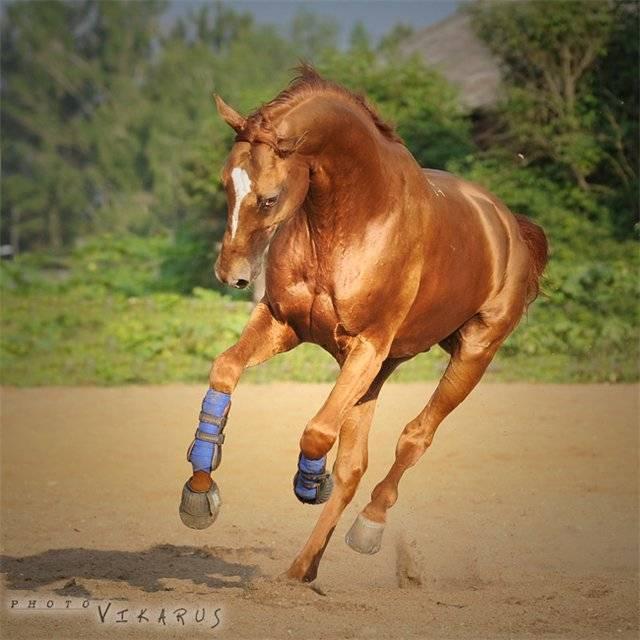 Буденновская порода лошадей: особенности и описание | мои лошадки