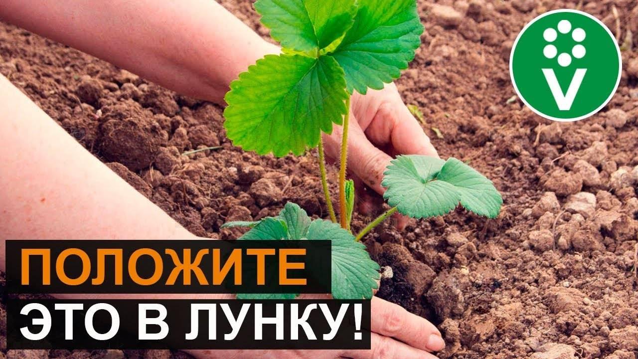 Посадка клубники осенью, когда и как посадить: советы, фото, видео