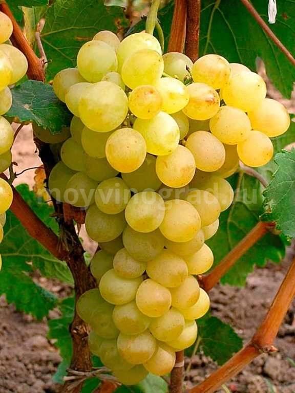 Удивительный феномен среди столовых сортов винограда - сорта винограда, столовые | описание, советы, отзывы, фото и видео