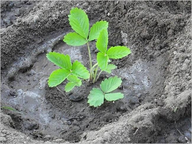Посадка клубники осенью: советы и рекомендации когда и как правильно сажать клубнику. схема посадки в открытый грунт и уход за саженцами (115 фото)