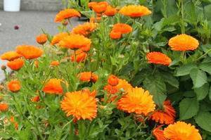 Календула – выращивание рассады из семян в домашних условиях