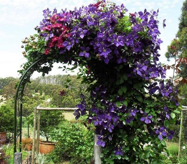 Посадка клематиса весной: как и когда правильно сажать