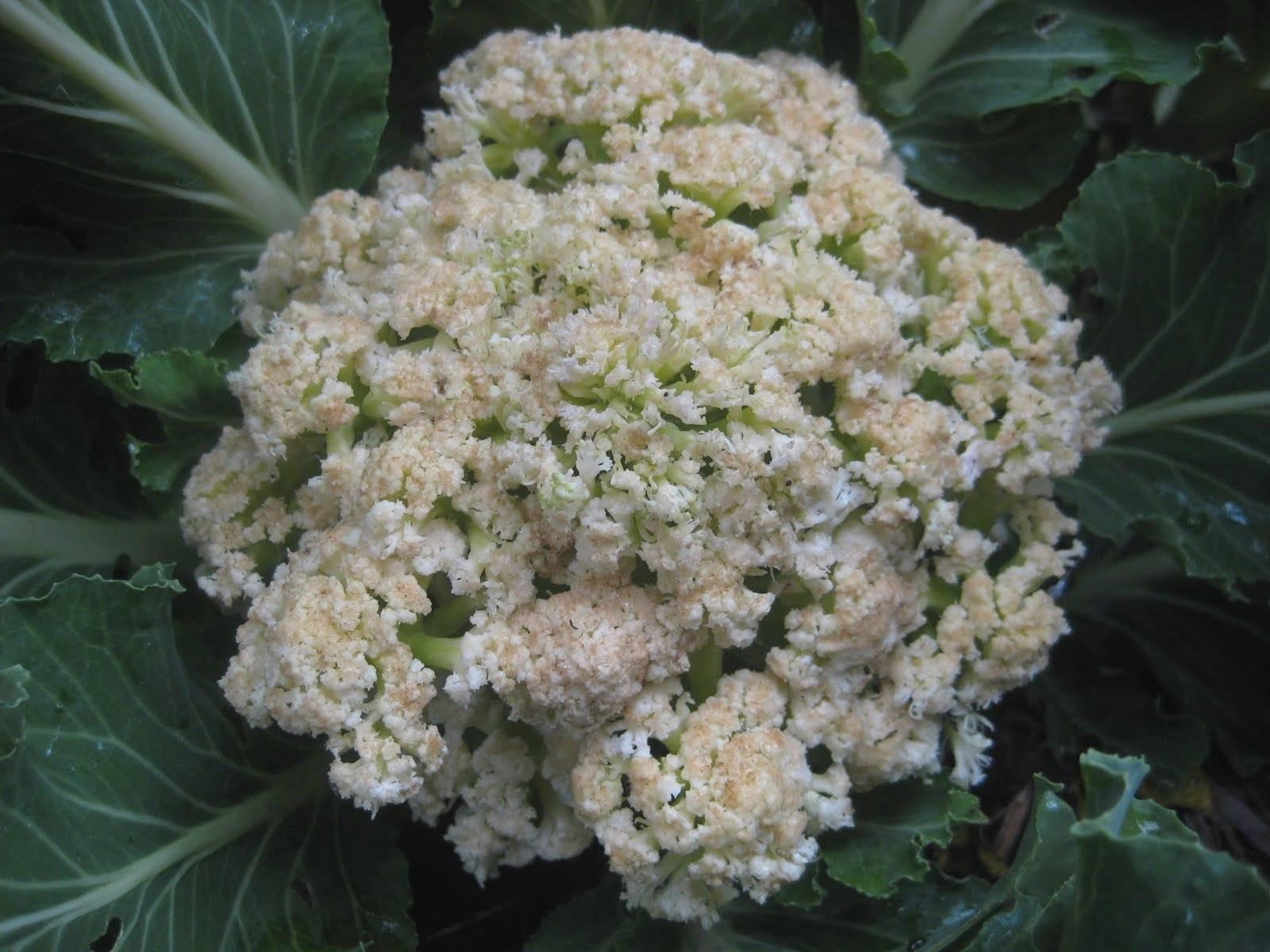Как хранить цветную капусту в домашних условиях?