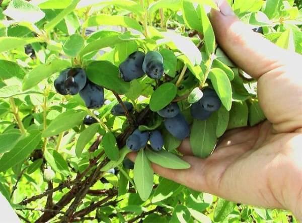 Лучшие сорта жимолости, в том числе самоплодные, с описанием, характеристикой и отзывами, какие выбрать для выращивания в разных регионах