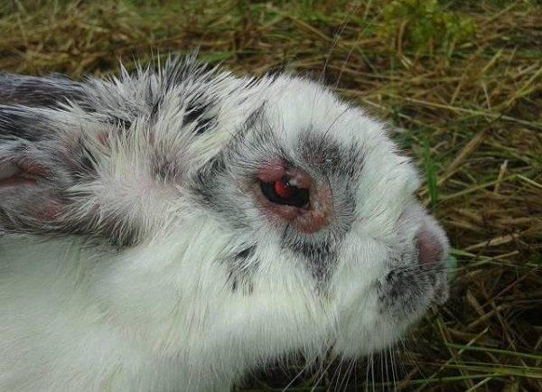 Миксоматоз у кроликов - причины, симптомы, лечение болезни