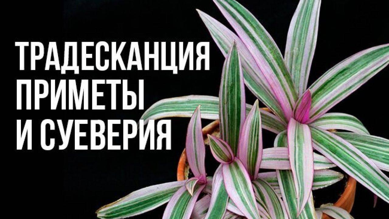 Цветок рео: приметы и суеверия, стоит ли держать его дома и что принесет своим владельцам эта традесканция