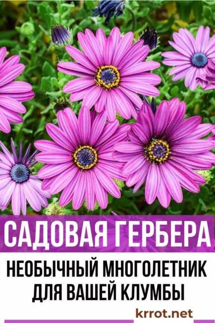 Герберы в саду — выращивание и уход, посадка растения в открытом грунте