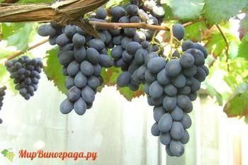 Виноград блек гранд : что нужно знать о нем, описание сорта, отзывы