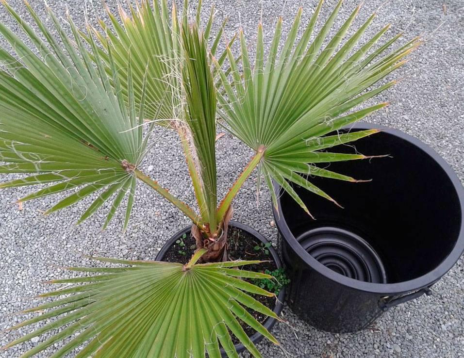 Пальма вашингтония: уход в домашних условиях, фото, описание, особенности выращивание из семян selo.guru — интернет портал о сельском хозяйстве