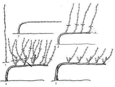 Как правильно формировать виноград - самая простая схема по годам, как сформировать куст на второй год