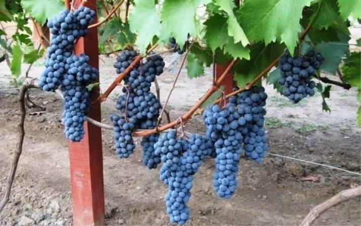 Виноград потапенко: сорта, описание, фото, отзывы