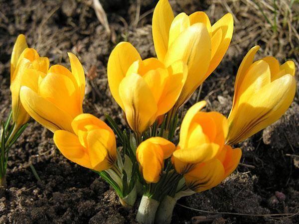 Крокусы: посадка, выращивание и уход за цветами в домашних условиях