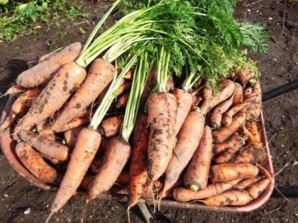 Морковь королева осени: характеристика и описание сорта, выращивание