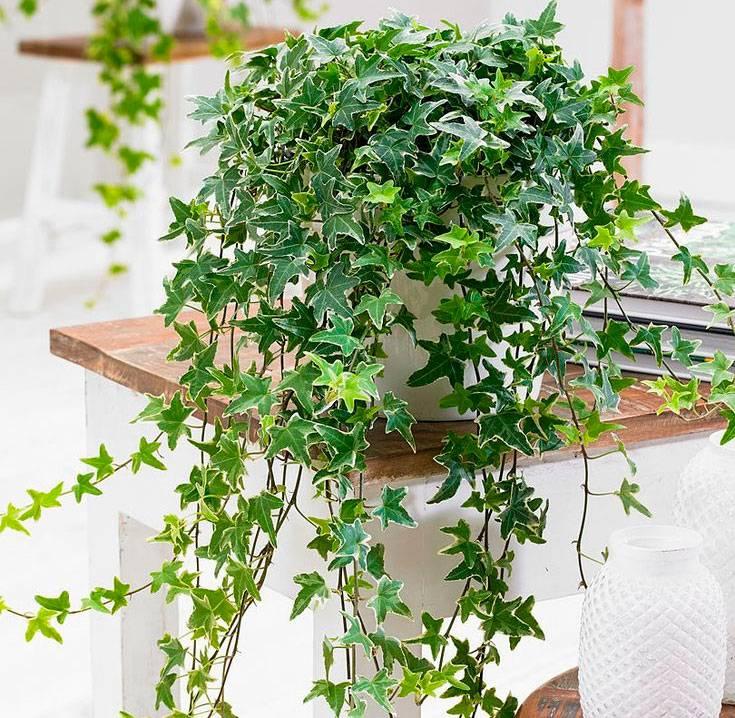 Плющ в ландшафтном дизайне: многолетний, для сада, на стене дома, на заборе, комнатный, фото