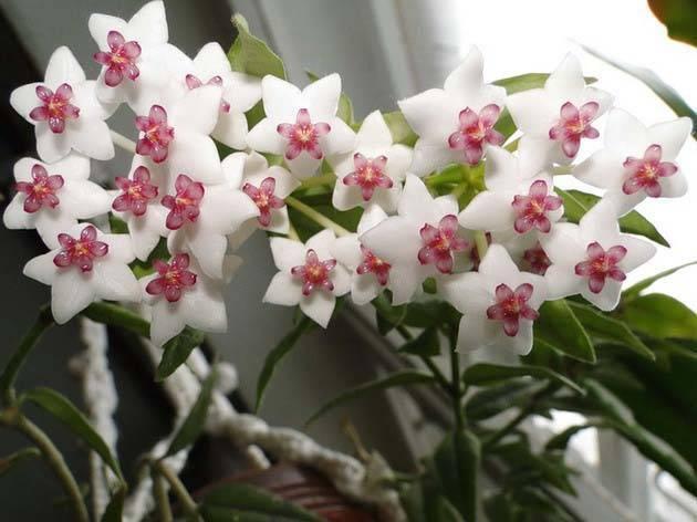Хойя - приметы и суеверия: можно ли держать дома восковой плющ, к чему он цветет и другие народные поверья, связанные с этим цветком