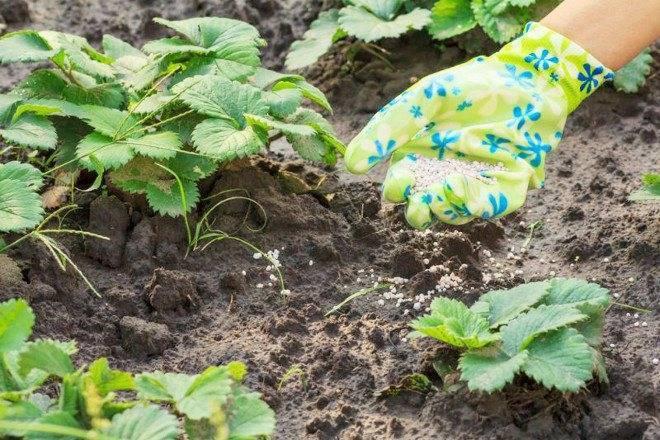 Чем подкормить клубнику в августе после обрезки и сбора урожая