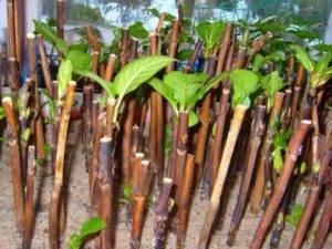 Как размножить гортензию черенками осенью: пошаговая инструкция