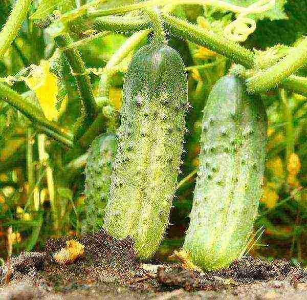 Сорт огурца марьина роща: выращивание, посадка и уход, фото
