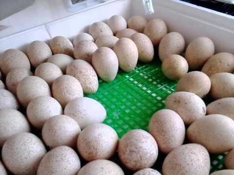 Инкубация в домашних условиях индюшиных яиц