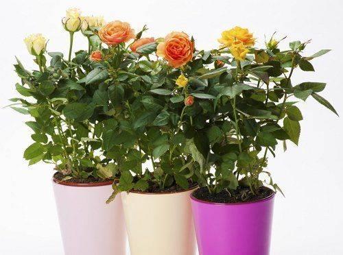 Как поливать розу в горшке: чем и как часто орошать комнатные декоративные растения в горшках в домашних условиях, сколько воды нужно, каковы особенности зимой? selo.guru — интернет портал о сельском хозяйстве