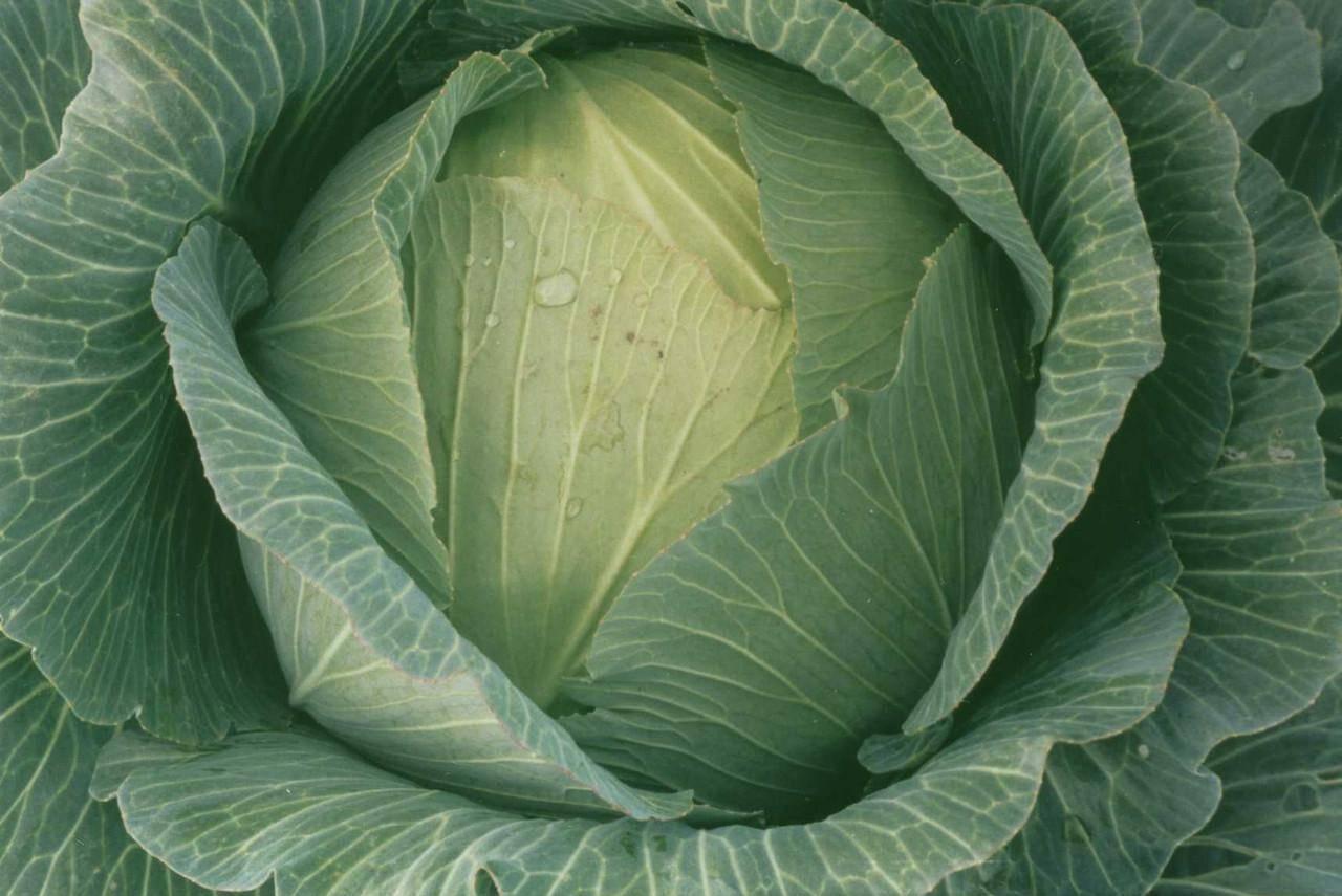 Сорт, требующий тщательного ухода и полива — капуста белоснежка f1: полное описание
