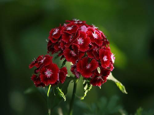 Гвоздика турецкая — бородатый цветок зевса: выращивание, посадка и уход