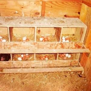 Конструкция гнезда для кур-несушек, современные гнезда