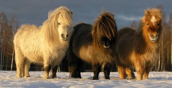 Знакомство с миниатюрными лошадьми