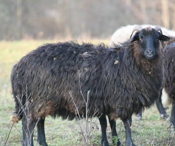 Карачаевская овца: описание породы